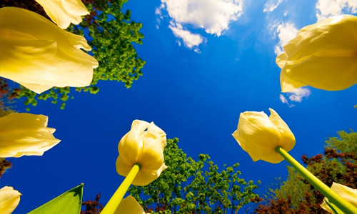 Yellow tulip flowers hi resolution wallpapers