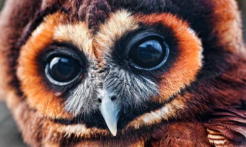 Big eyes brown free hi res owl wallpaper
