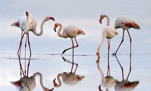 Flamingo free birds wallpapers