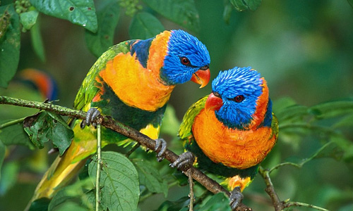 Lorikeets free birds wallpapers