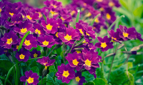Purple flowers hi resolution wallpapers