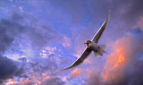 Flying seagull free birds wallpapers