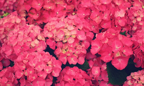 Pink flowers hi resolution wallpapers