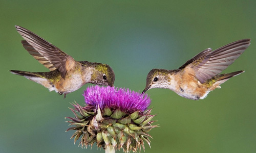 Hummingbirds free birds wallpapers