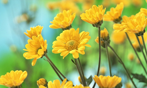 Yellow flowers hi resolution wallpapers