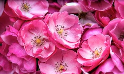 Pink flowers flowers hi resolution wallpapers