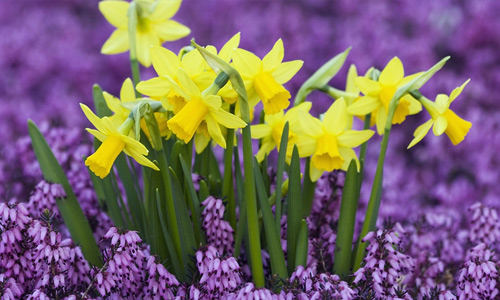 Yellow purple flowers hi resolution wallpapers