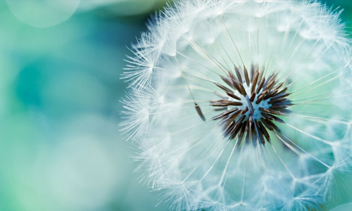 Blue dandelion macro flowers hi resolution wallpapers