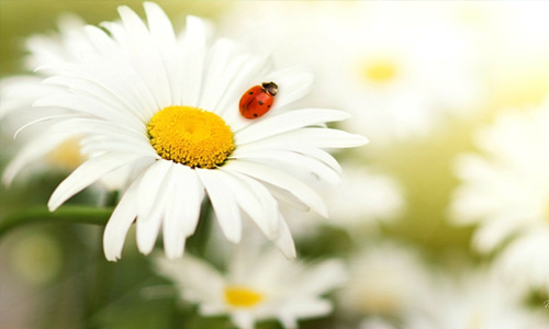 White daisy lady bug flowers hi resolution wallpapers
