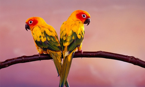 Parrot free birds wallpapers