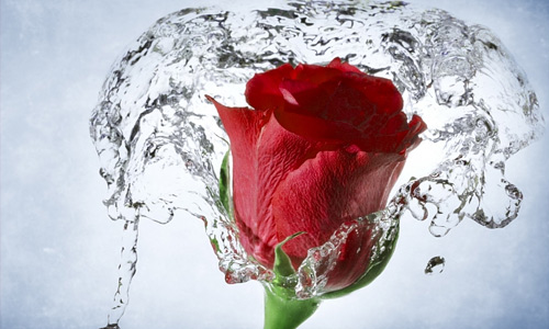 Rose water flowers hi resolution wallpapers