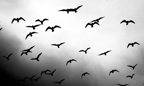 Black white free birds wallpapers