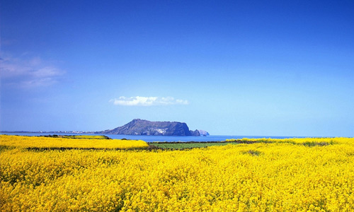 Yellow field of flowers hi resolution wallpapers