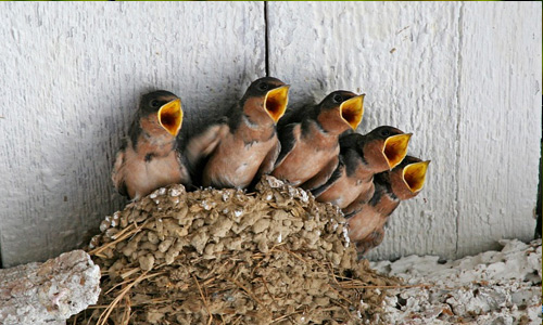 Baby birds free birds wallpapers