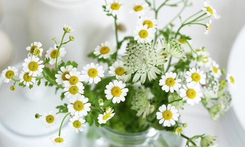 White daisy flowers hi resolution wallpapers