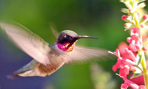 Hummingbird free birds wallpapers