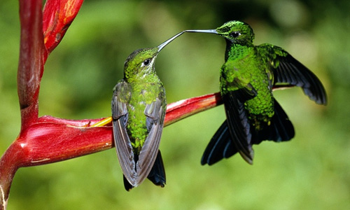 Green hummingbird free birds wallpapers