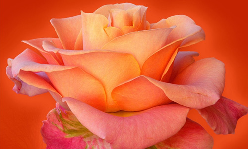 Rose flowers hi resolution wallpapers