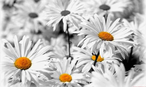 Daisy white flowers hi resolution wallpapers