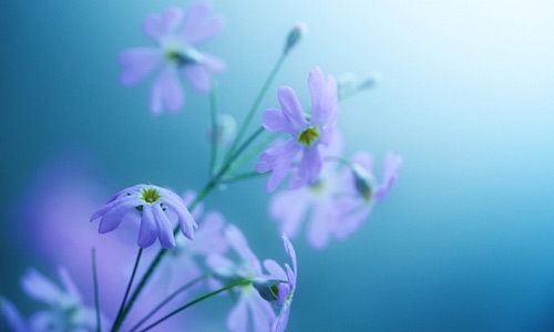Lavander purple violet flowers hi resolution wallpapers