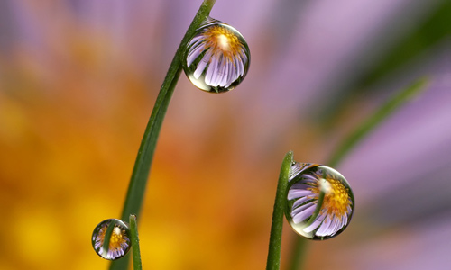 Daisy Dewdrop Refraction