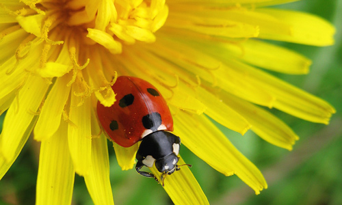 Ladybird About to Leave a Dandelion