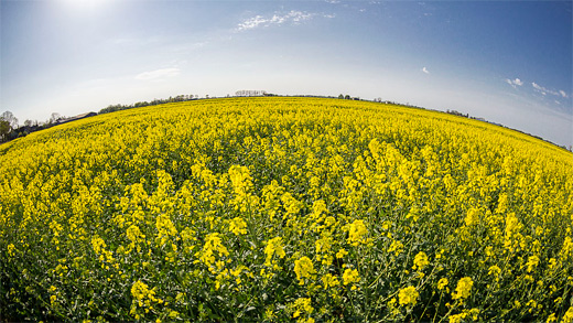 Yellow flower field fisheye view fish eye photography