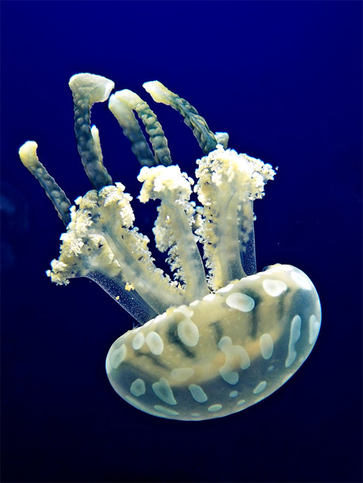 Spotted white jellyfish photography