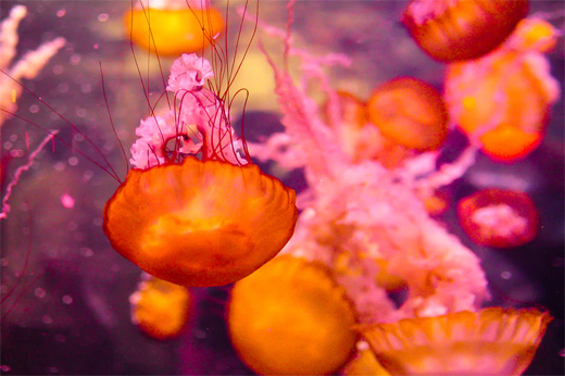 Pink orange jellyfish photography