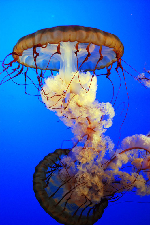 Magnificent jellyfish photography