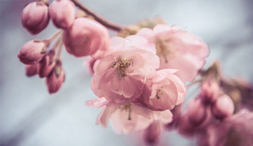 Cute pink cherry blossom wallpapers free download hi res high resolution