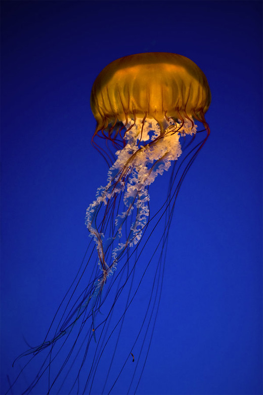 Yellow jellyfish photography