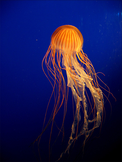 Orange jellyfish photography