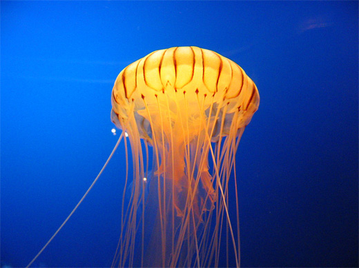 Beautiful yellow jellyfish photography