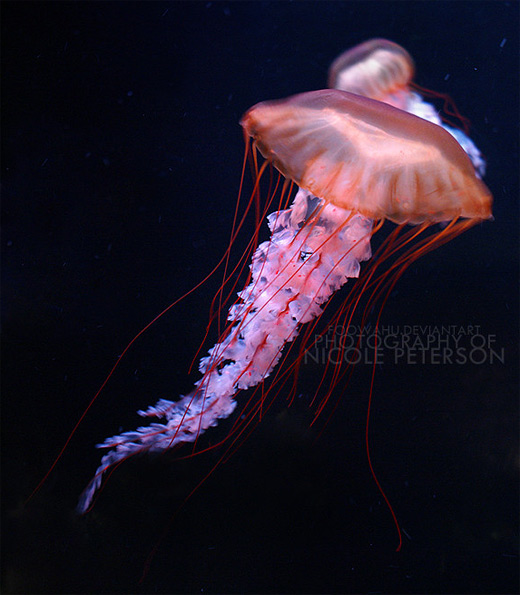 Orange pink jellyfish photography