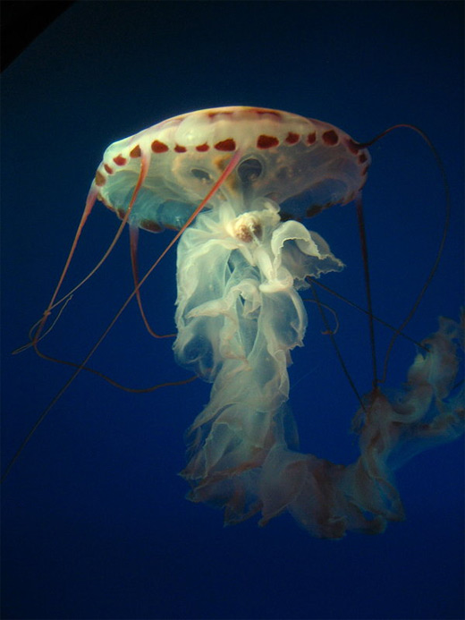Elegant jellyfish photography