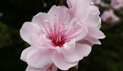 50 lovely cherry blossom wallpapers to brighten your desktop naldz cherry flower cute pink flower mightylinksfo