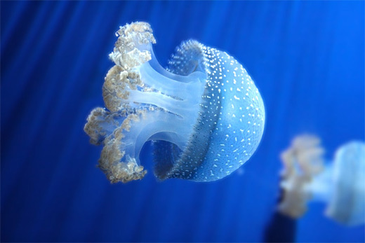 Cute small baby jellyfish photography