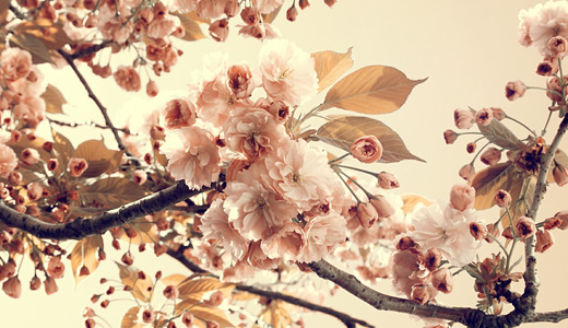 Vintage cherry blossom wallpapers free download hi res high resolution