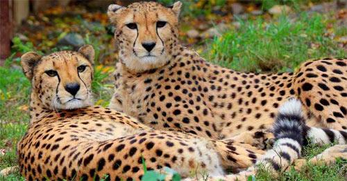 Cheetah Sisters