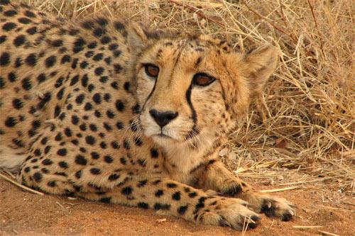 Pretty face, cheetah