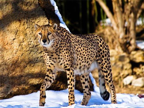 cheetah539