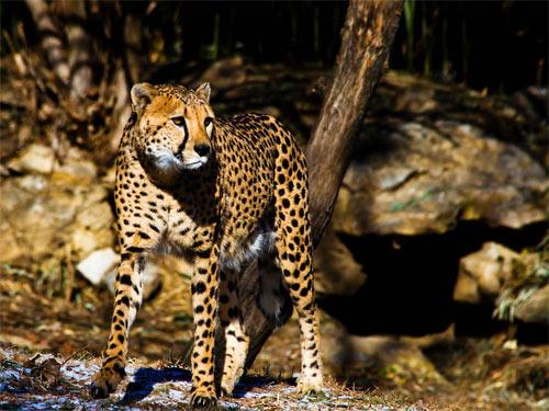 cheetah527