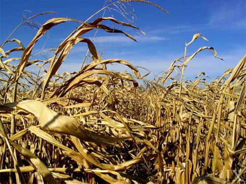 Cornfields of Illinois