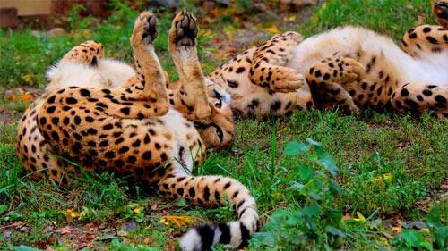 Those Silly Cheetahs