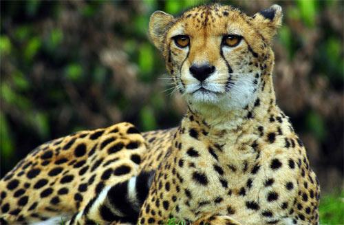 cheetah88