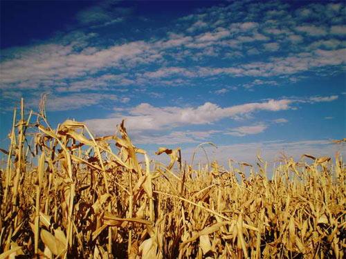 cornfield 1