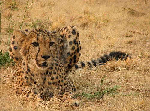 Vigilant cheetah