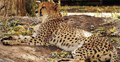 Lazy cheetah two