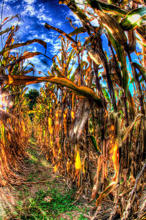 pennsylvania fall cornfield